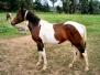 Pferde - Chayenne