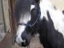 Pferde - Flicka