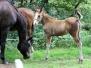 Pferde - Mrs. Dundee